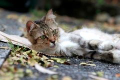 Lazy cat lying on the street royalty free stock images