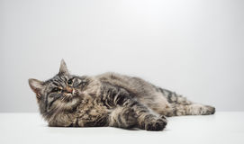 Lazy cat napping Royalty Free Stock Photography