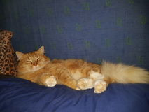 Lazy cat orange fluffy  fat Royalty Free Stock Photography