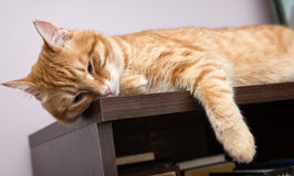 Lazy cat. Lazy orange cat sleeping on the bookcase Stock Photos