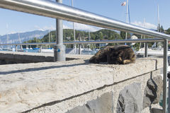 Lazy cat. On the pier of Spiez, Switzerland Stock Photography