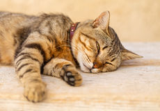 Lazy cat. Portrait of a lazy cat lying on the table Royalty Free Stock Photography