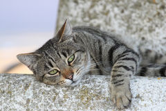Lazy cat portrait Stock Photo