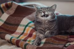 Lazy cat relaxing on soft blanket. Pets, lifestyle, cozy autumn or winter weekend, cold weather concept. stock photo