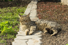 Lazy cat resting in the garden. Lazy cat resting on an alley in the garden Royalty Free Stock Photography