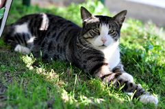 Lazy cat resting on the grass. In Hurghada hotel Royalty Free Stock Photo
