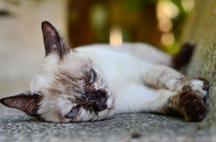 Lazy cat. Lazy Siamese cat Royalty Free Stock Image
