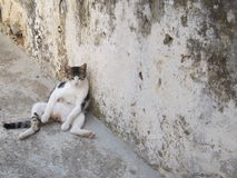 Lazy cat sitting in a funny pose on a hot day Royalty Free Stock Images
