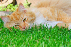 Lazy cat sleeping on green grass Stock Photo