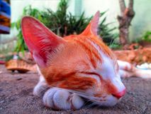A Lazy Cat Sleeping On The Ground. Peacefully Stock Images