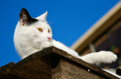 Lazy cat on top of old shed. Lazy white cat with black crocked ear, laying on top of old wooden shed Stock Images