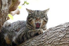 Lazy cat in a tree Stock Photography