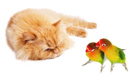 Lazy cat and two lovebirds. Isolated on white Stock Photography