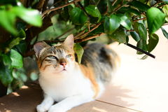 Lazy Cat. A lazy cat under the shade Royalty Free Stock Images