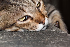 The lazy cat Stock Image
