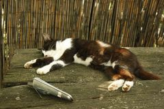 Lazy cat with white and black spots sleeps on a bench in the yard of a country house. stock images
