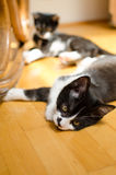 Lazy cats Royalty Free Stock Photos