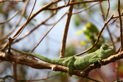 Lazy chameleon Royalty Free Stock Images