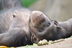 Lazy chimp Royalty Free Stock Image