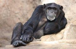 Lazy Chimpanzee Stock Photos