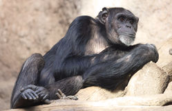Lazy Chimpanzee Royalty Free Stock Photo