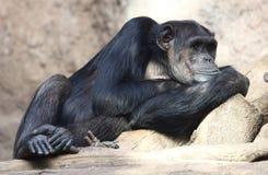 Lazy Chimpanzee Stock Image