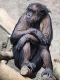 Lazy Chimpanzee Stock Images