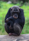 Lazy chimpanzees Royalty Free Stock Images