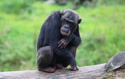 Lazy chimpanzees. A lazy chimpanzee on some wood Royalty Free Stock Photos