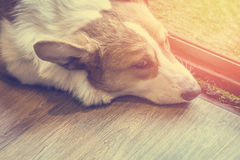 Lazy corgi Dog on the wooden floor Royalty Free Stock Photography