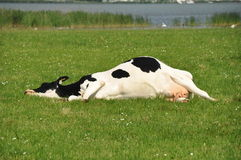 Lazy cow. Lazy Dutch cow, lying in the grass Stock Photography