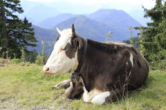 Lazy cow Stock Photography