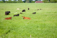 Lazy Cows. A herd of cows resting in a green grassy field with a barn in the distance Royalty Free Stock Photo