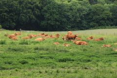Lazy cows. Lazy cows on the hillock at the countrysdie in the summer stock image