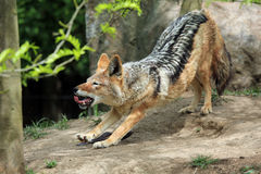 Lazy Coyote Royalty Free Stock Photo