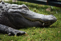 Lazy croc Stock Images