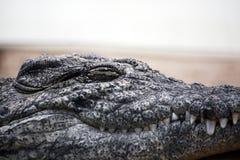 Lazy croc Royalty Free Stock Photo