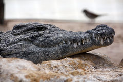 Lazy croc Stock Photo