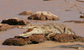 Lazy Crocodile Stock Image