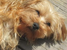 Lazy Cute Dog :D. My dog Spice taking it easy on a warm summer day royalty free stock photo