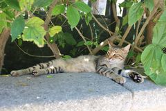 The lazy Cypriot cat