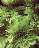Lazy daisy stock photo