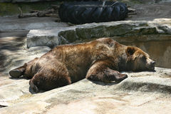 Lazy Day. A brown bear waits patiently for his pool to fill Royalty Free Stock Image