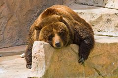Lazy Day at the Zoo. A grizzly bear relaxing on a spring day at the zoo Royalty Free Stock Photos
