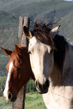Lazy days. Two horses looing over fence Stock Photos