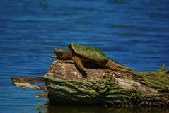 Lazy Days of Summer. A rather large 20 lb. Snapping Turtle just enjoying the warmth of the sun in mid May at Goose Pond, located in the south west part of royalty free stock photography