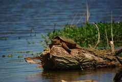 Lazy Days of Summer. A rather large 20 lb. Snapping Turtle just enjoying the warmth of the sun in mid May at Goose Pond, located in the south west part of Royalty Free Stock Photos
