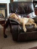 Lazy days for young yellow labrador stock image