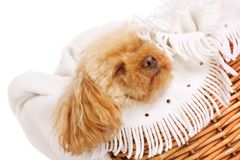 Lazy dayz. Apricot toy poodle fast asleep in its basket stock images