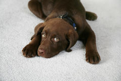 Lazy Dog. Adorable Chocolate Labrador Retriever Puppy stock photography
